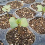 【苗づくり⑥】苗の成長を見守っています。