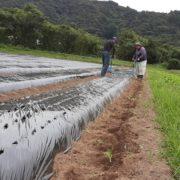【有機にんにく栽培】にんにくの種植えは続きます。