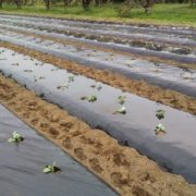 【有機ケール栽培】ケールの定植は続きます