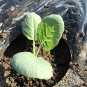 【有機ケール栽培】ケールの定植が始まりました。