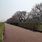 今年も陽光桜が開花しました!