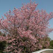 会社の周りにも桜はいっぱいです