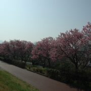 赤坂泉の陽光も満開を迎えました!