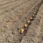 生姜を植えています